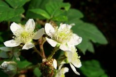 Blackberry. White blossom of a blackberry bush with shallow background stock photo