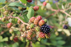 Blackberry Royaltyfria Bilder