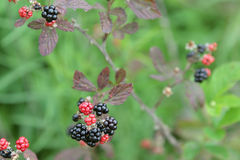 Blackberry. Berry black red plant green nature Royalty Free Stock Photo