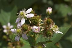 Blackberry. (Rubus fruticosus) - flowers and fruits stock photo