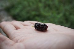 Blackberry; amora-preta Royalty-vrije Stock Foto's