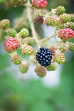 Blackberry-Anlage mit Früchten Stockbild