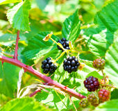 Blackberry arbusto Imagens de Stock Royalty Free