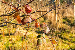 Blackberry arbusto com folhas Imagens de Stock