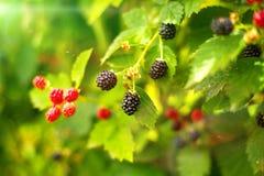 Blackberry arbusto en día de verano Imágenes de archivo libres de regalías