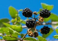 Blackberry arbusto en el jardín, cielo azul en fondo Imagen de archivo