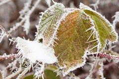 Blackberry arbusto en invierno Foto de archivo libre de regalías