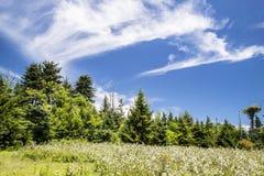Blackberry arbustos que florecen debajo de los cielos azules en Roan Mountain fotos de archivo libres de regalías