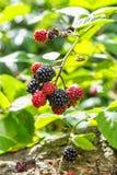 Blackberry-Bündel auf dem Busch Stockfotos
