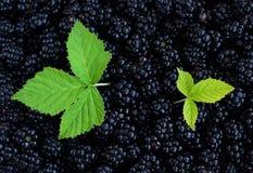Blackberry Background Royalty Free Stock Photo