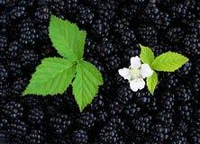 Blackberry Background Royalty Free Stock Photography