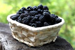 Blackberry basket. Little basket with fresh blackberries from the forest Stock Photos