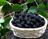 Blackberry basket. Little basket with fresh blackberries from the forest Royalty Free Stock Photo