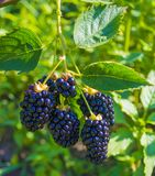 Blackberry-Beerennahaufnahme Stockfoto