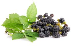 Blackberry berries on branch with green leaves Stock Image