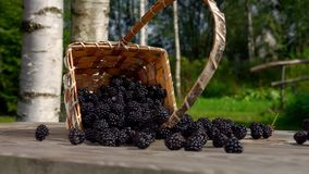 Blackberry berries get enough sleep from a basket. Of birch bark for on a wooden table stock footage