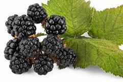 Blackberry Berries. Blackberry (Rubus Villosus) berries with serrated leaves on white Royalty Free Stock Photo