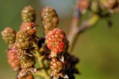 Blackberry. Berry. Garden. Royalty Free Stock Photo