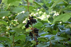 Blackberry, berry, nature, leaves, bushes, biology, nature, plant, spring, summer, heat, food, fruit, tasty, Stock Photography