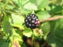 Blackberry. Berry on a summer bush Royalty Free Stock Photos
