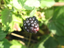 Blackberry. Berry on a summer bush Stock Photography