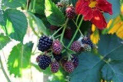 BlackBerry Stock Photo