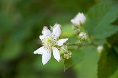 Blackberry blomma royaltyfria bilder