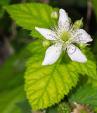 Blackberry blomma Arkivfoto