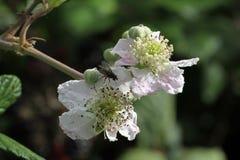 Blackberry blommor Arkivbilder