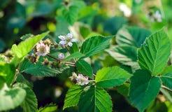 Blackberry blommor på en buske royaltyfri foto