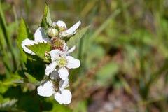 Blackberry Bloom Cluster Stock Image