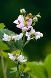 Blackberry blossom. Close up shoot of blackberry blossoms in Serbia stock image
