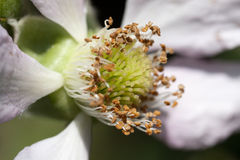 Blackberry blossom Stock Photo
