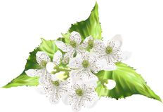 Blackberry blossom illustration isolated on white Royalty Free Stock Images