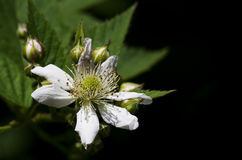Blackberry blossom Royalty Free Stock Images