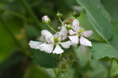 Blackberry blossoms Stock Photography