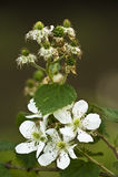Blackberry Blossoms stock photo