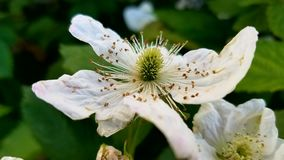 Blackberry Blossoms. Blackberries flowers blossoming on a bush Stock Images