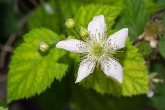 Blackberry-Blume Lizenzfreies Stockfoto