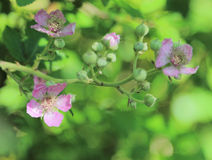 Blackberry-Blumen Lizenzfreies Stockbild