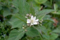 Blackberry-Blumen Stockfoto