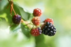 Blackberry or bramble fruit Royalty Free Stock Images