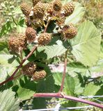 Blackberry bramble in june. Formation of blackberries after the flowering stage stock photography