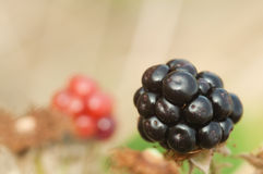 Blackberry in the brambles. Blackberry ripens in bramble bush as summer closes royalty free stock photography