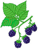 Blackberry branch. Isolated  illustration of blackberry branch Royalty Free Stock Image