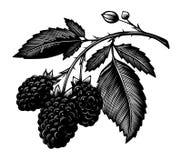 Blackberry branch. Vintage blackberry branch in vector Stock Image