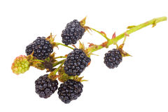 Blackberry branch Royalty Free Stock Photography
