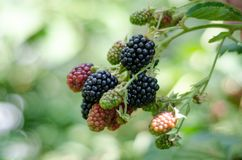 Blackberry on a branch. In the garden green leaves blurred background Royalty Free Stock Image