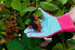 Blackberry on the branch in farmer hand Royalty Free Stock Image