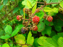 Blackberry branch on a green bush. Forest blackberries on green bush, summer time Stock Image